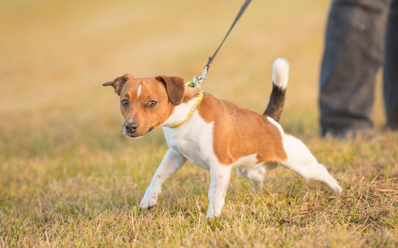 stop-dog-pulling-leash